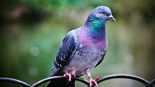 Сизокрылый голубь сидит на кованной ограде