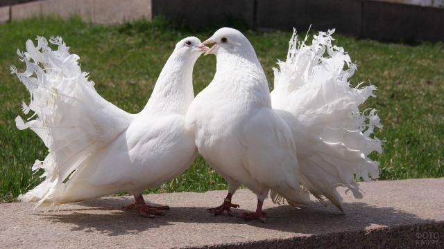 Сладкая парочка белых голубей