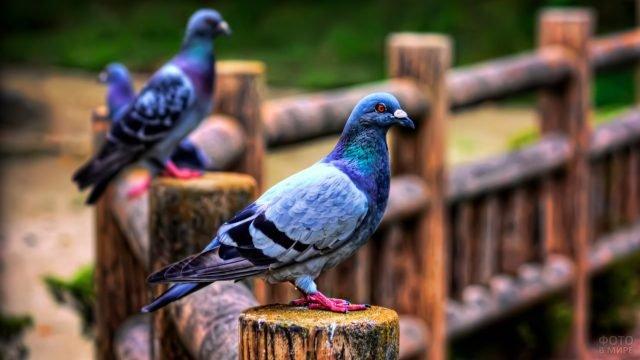 Три голубя расселись по столбикам