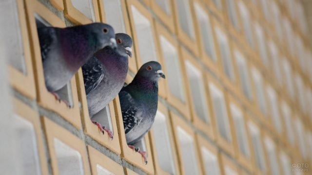 Три голубя выглядывают из окошек