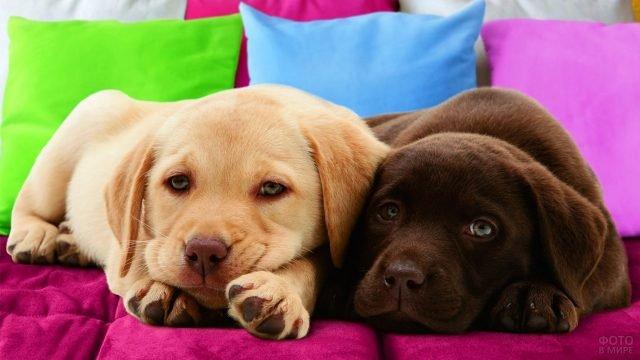 Два пёсика отдыхают на диване