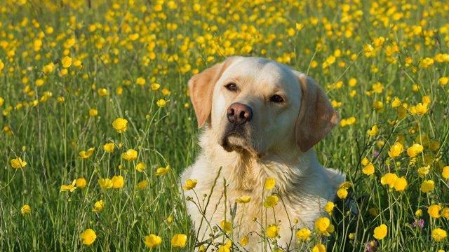 Лабрадор на цветочной поляне
