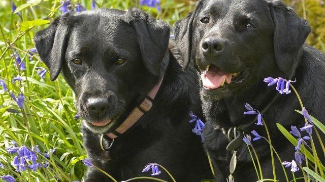 Пара чёрных лабрадоров на цветочном поле