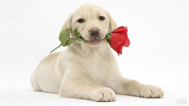 Пёс лабрадор с цветком в зубах