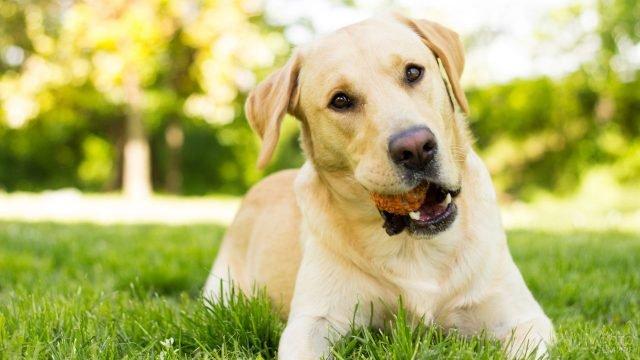 Пёс лежит с мячом во рту на лужайке