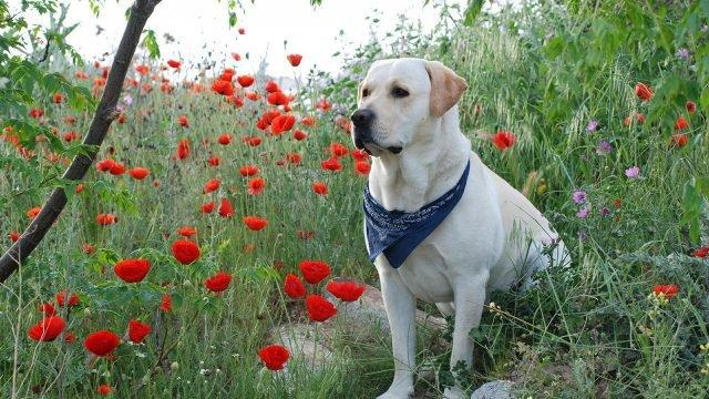 Пёс с платком на шее сидит на маковом поле