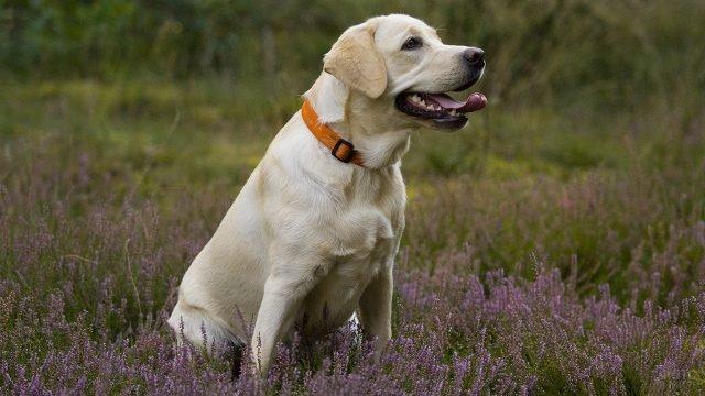Пёс с высунутым языком сидит на цветочной поляне