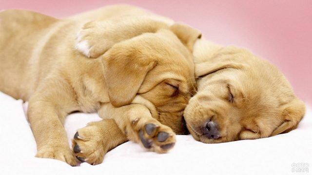 Щенки лабрадора сладко спят