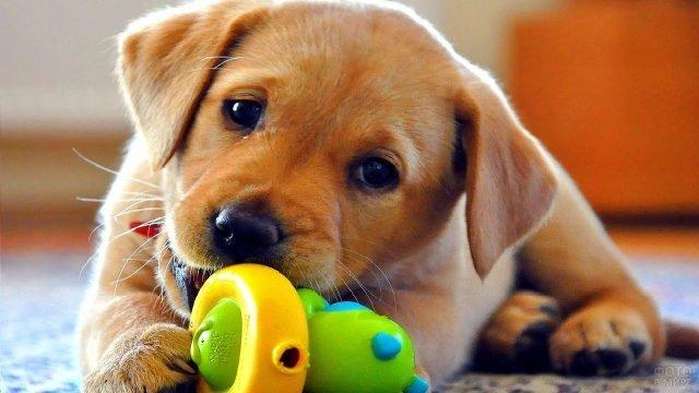 Щенок лабрадора со своей игрушкой