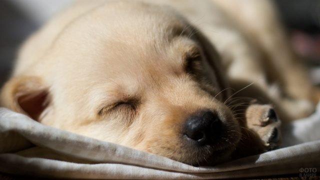 Щенок спит на одеяле