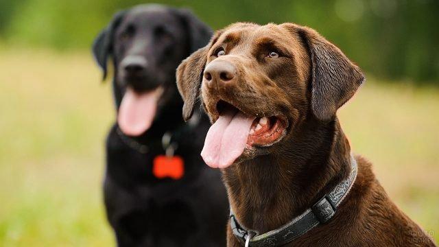 Собаки внимательно на кого-то смотрят