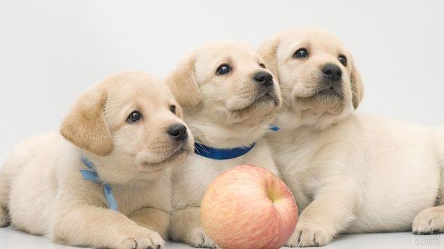 Три маленьких щенка позируют с яблочком