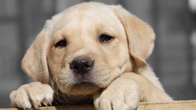 Задумчивый щенок куда-то сосредоточенно смотрит