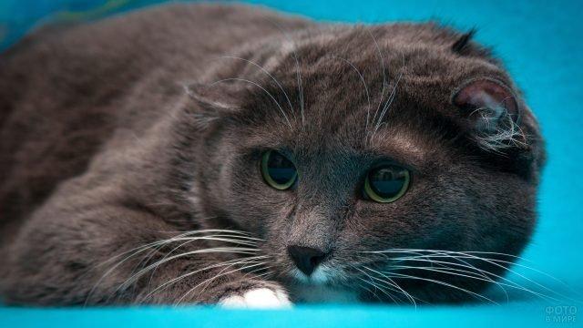Котик лежит на голубом коврике