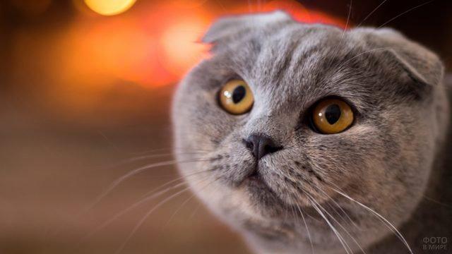 Котик шотландский с вопрошающим взглядом