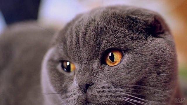 Мордашка милого серого котика
