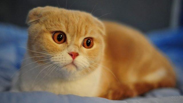 Рыжий котик задумчиво смотрит
