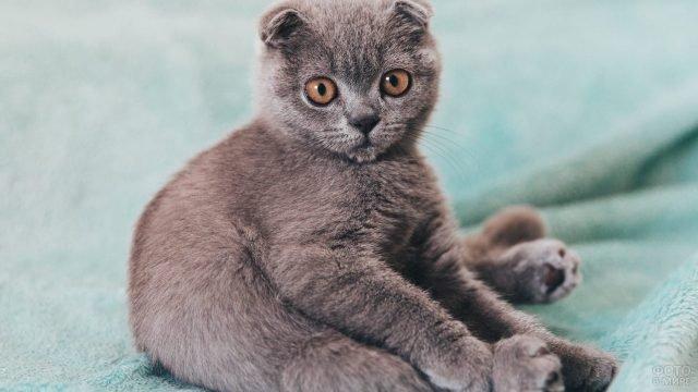 Серый кот смешно сидит на пледе