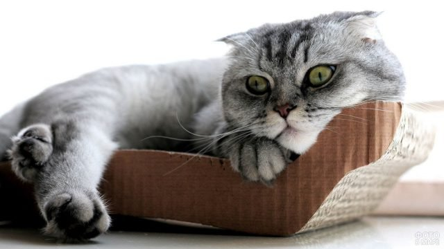 Шотландская кошка лежит на окне