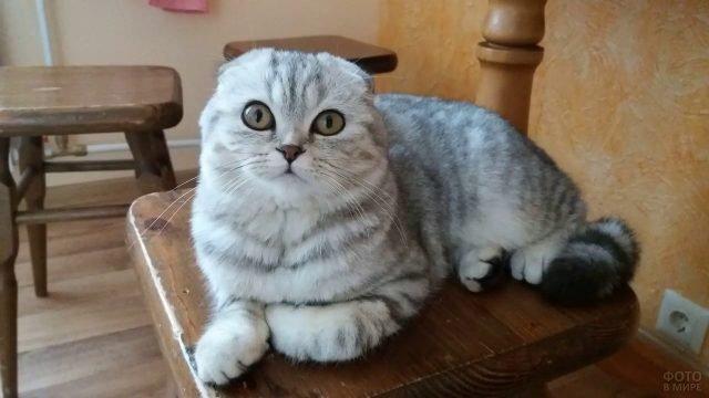 Шотландская кошка лежит на стуле