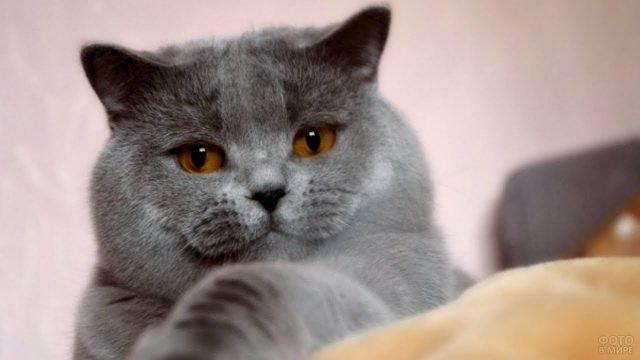 Шотландская кошка важно лежит