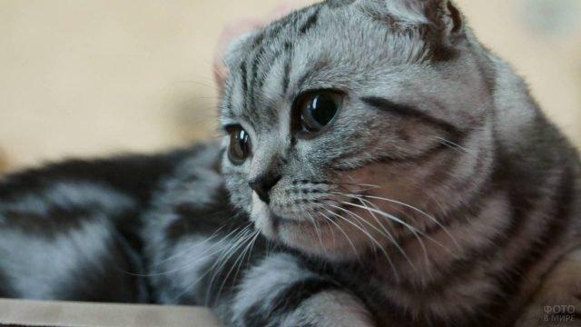 Шотландская вислоухая кошка смотрит в сторону