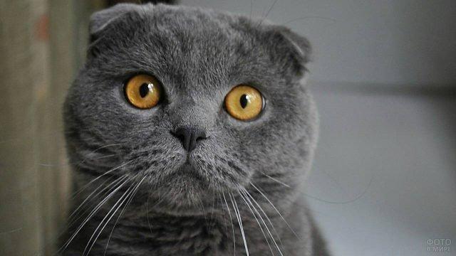 Шотландский котик важно позирует