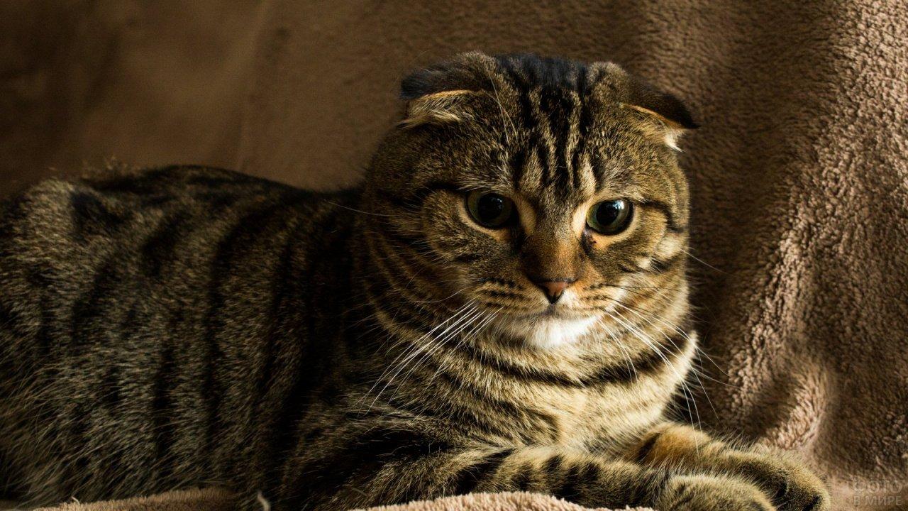 Шотландский тигровый кот лежит на тёплом пледе