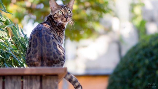Бенгалец сидит в саду повернув голову назад