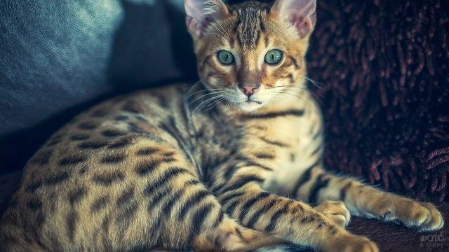 Бенгальская кошечка с синезелёным цветом глаз отдыхает на диване