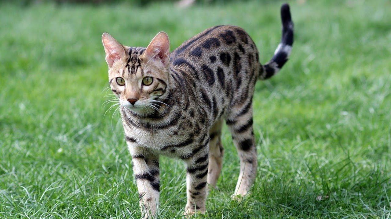 Бенгальский котейка идёт по зелёной траве