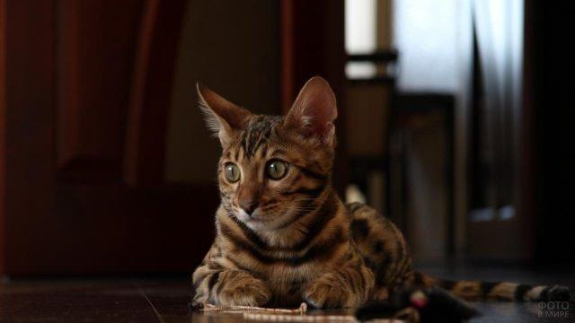 Бенгальский котик сидит дома и смотрит в сторону