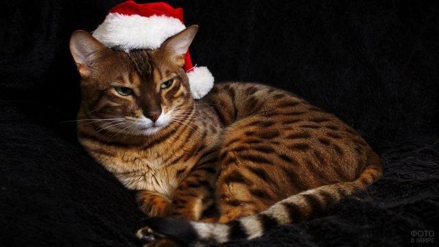 Бенгальский котик в колпачке Санта-Клауса