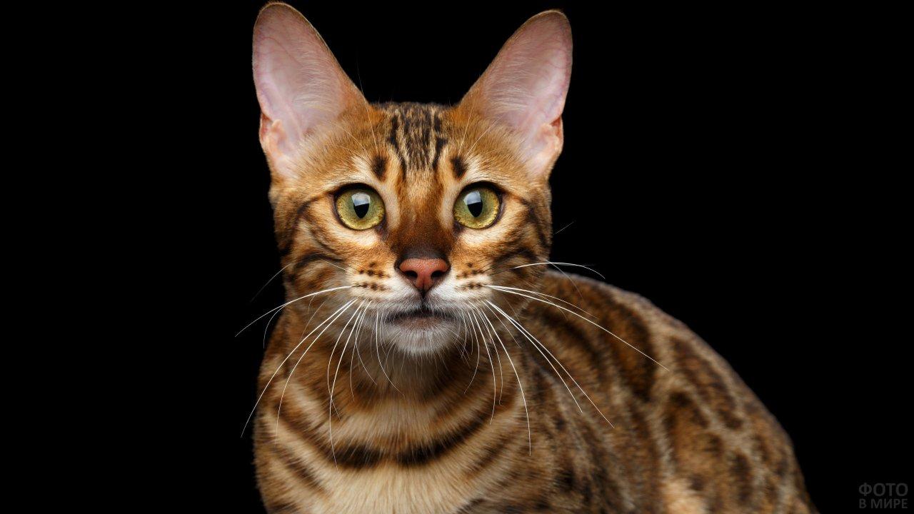 Бенгальский котяра на чёрном фоне смотрит перед собой