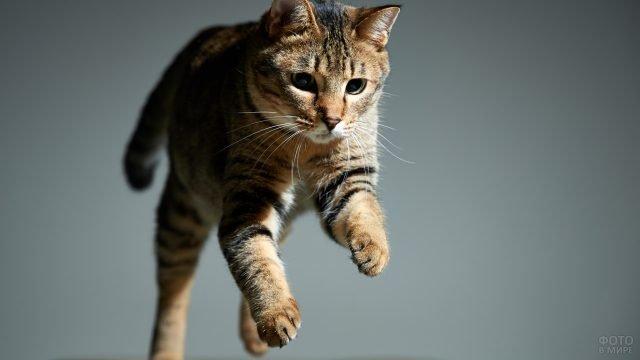 Бенгальский котяра в прыжке на сером фоне