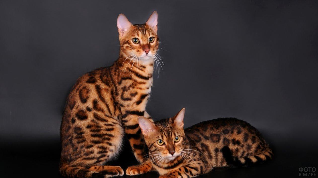 Две бенгальских кошечки смотрят в кадр