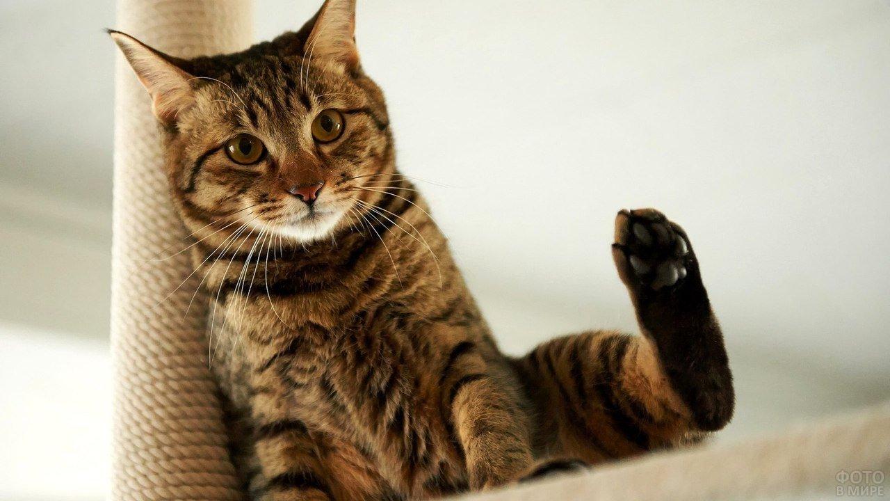 Котейка сидит с задранной вверх задней лапой