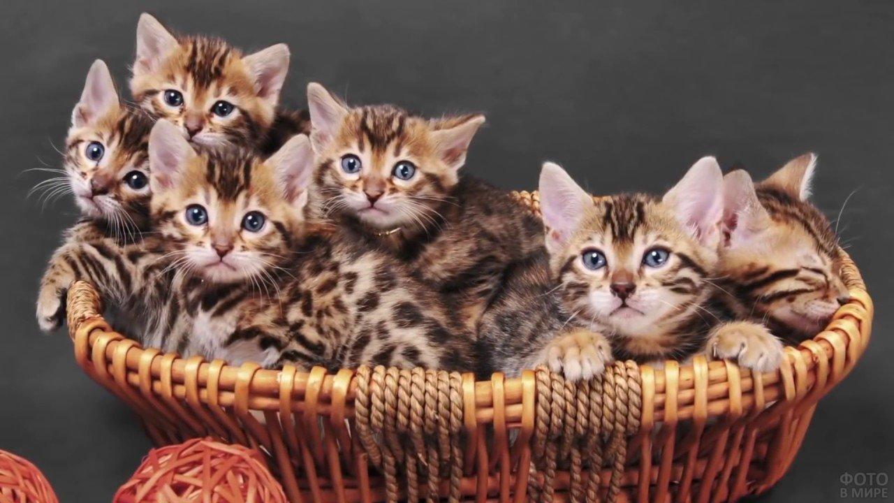 Котята бенгальской кошки лежат в корзине