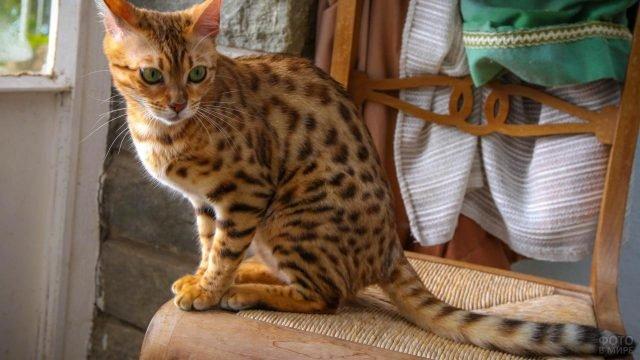 Молоденький бенгальский кот сидит на стуле смотрит вниз