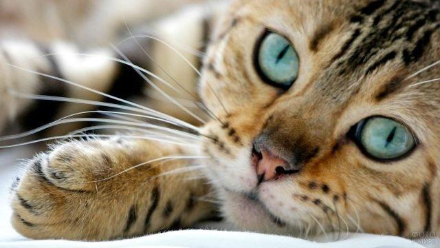 Морда бенгальской кошечки с синезелёным цветом глаз