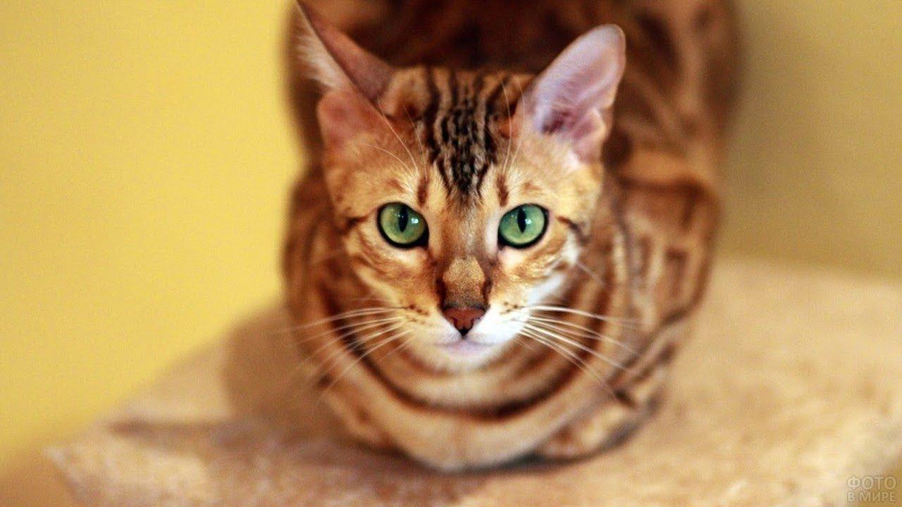 Симпатичная котейка с зелёными глазами смотрит в кадр