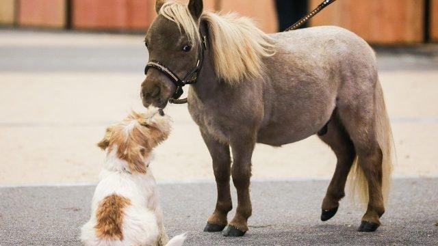 Крохотная пони с собачкой