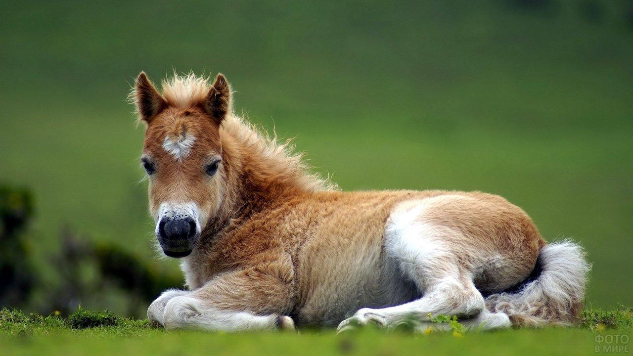 Кудрявый пони лежит на зелёной траве