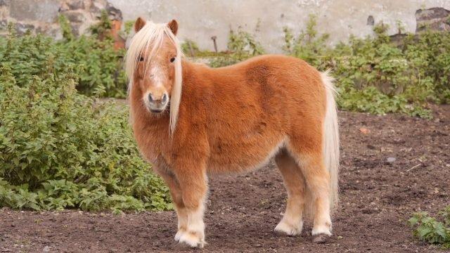 Шотландская пони коричневого окраса в саду