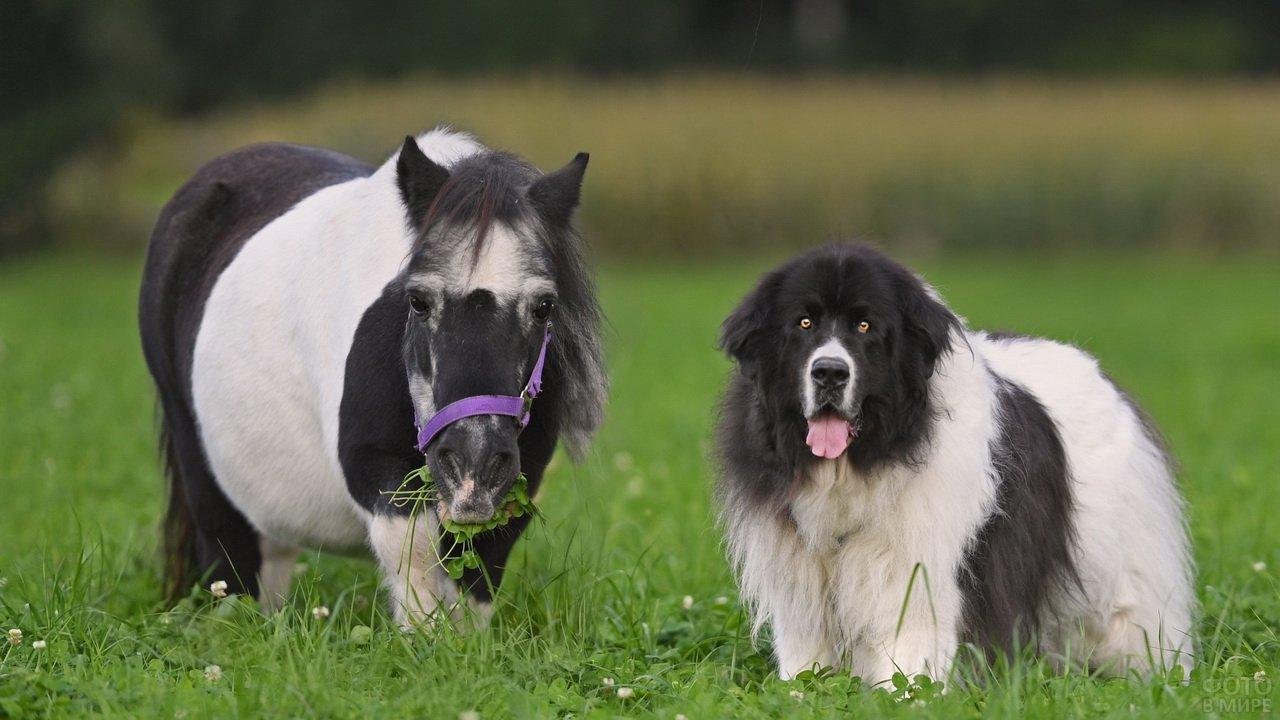 Собака и маленький пони почти одного роста
