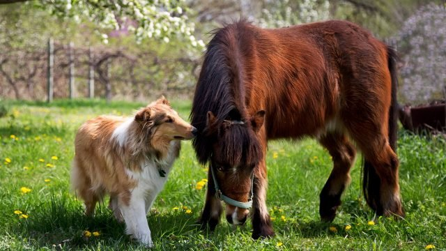 Собака породы колли и пони на лужайке