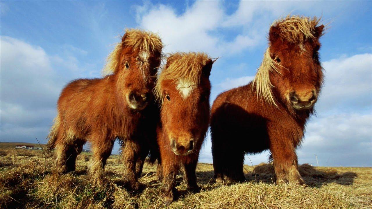 Три маленьких пони стоят на сене на фоне неба
