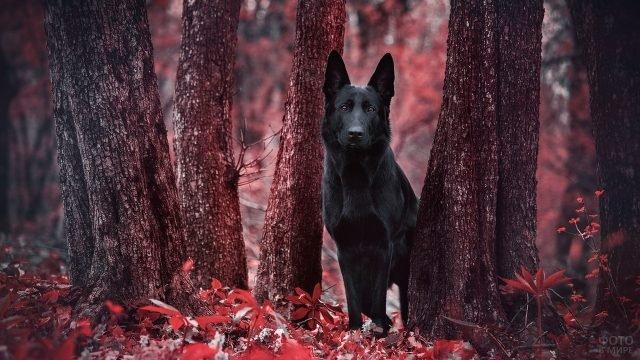 Черная немецкая овчарка в лесу