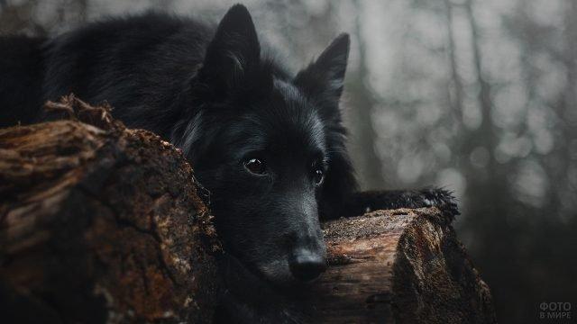 Черный пёс лежит на старых брёвнах