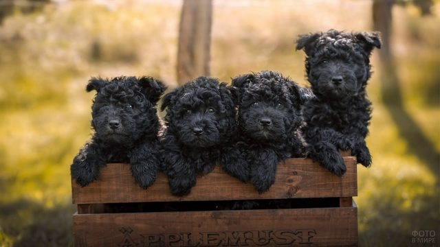 Четыре щенка аффенпинчер выглядывают из деревянного ящика